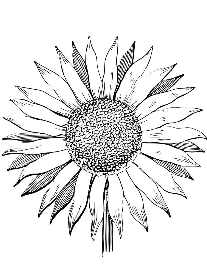 695x900 Coloring Pages Sunflowers Printable For Kids Adults Free