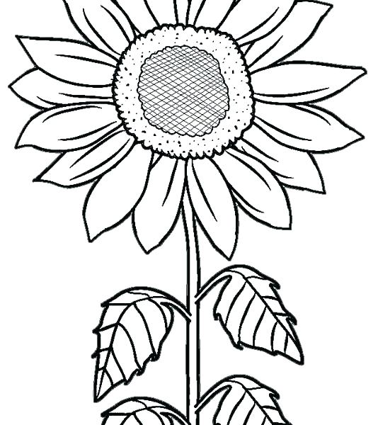 534x600 Sunflower Coloring Pages Coloring Pictures Of Sunflowers Sunflower