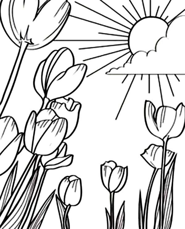 600x742 Tulips, A Beautiful Sunshine In Tulips Field Coloring Page