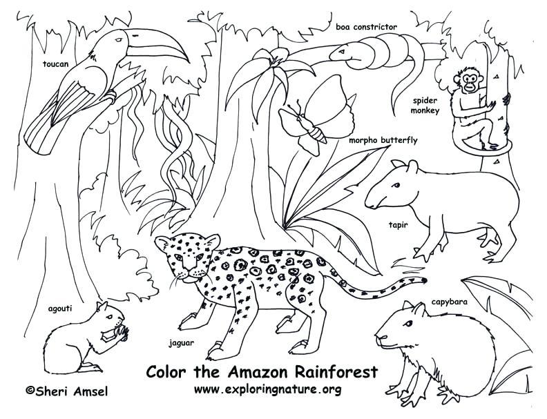 792x607 Rainforest Color Pictures Rainforest Amazon Coloring Page