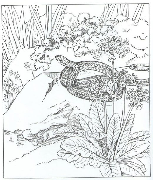 520x614 Snake Animal Coloring Pages