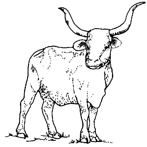 500x500 Texas State Symbols Coloring Pages Has The Name Longhorn Find This