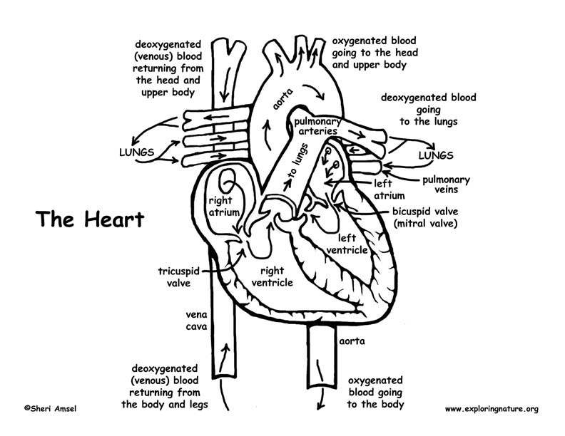 792x612 Coloring Pages Of The Heart Heart Anatomy And Blood Flow Advanced