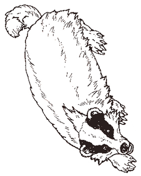 482x600 The Badger Coloring Page