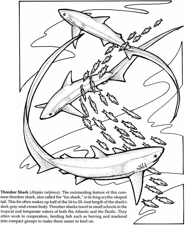 Thresher Shark Coloring Page
