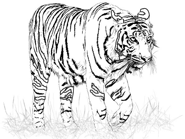 595x447 Adult Coloring Pages Tiger Coloring Pages For Girls