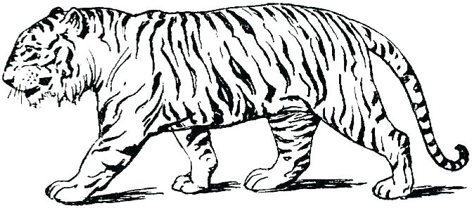 671x296 Tiger Coloring Pages Print A Tiger Looking Over Its Territory