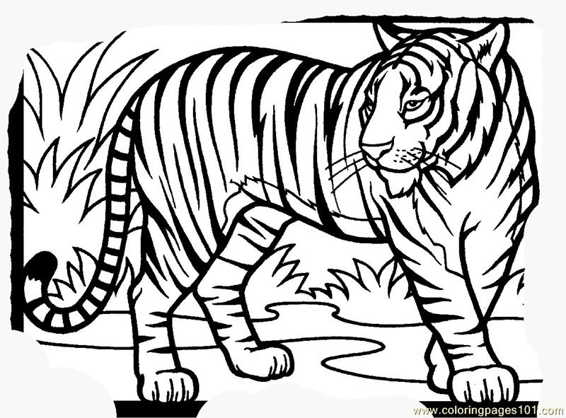 800x591 Tiger New Coloring Page