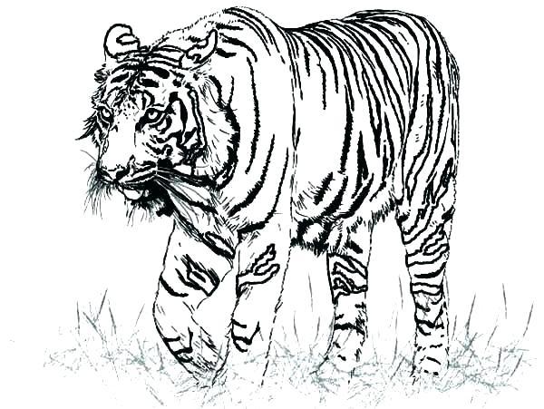 600x451 Tiger Color Pages Tiger Color Pages Tiger Coloring Pages Plus