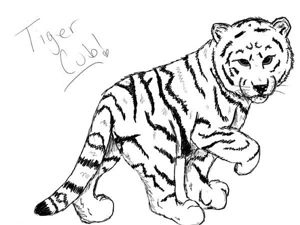 600x450 A Nice Sketch Of White Tiger Cub Coloring Page