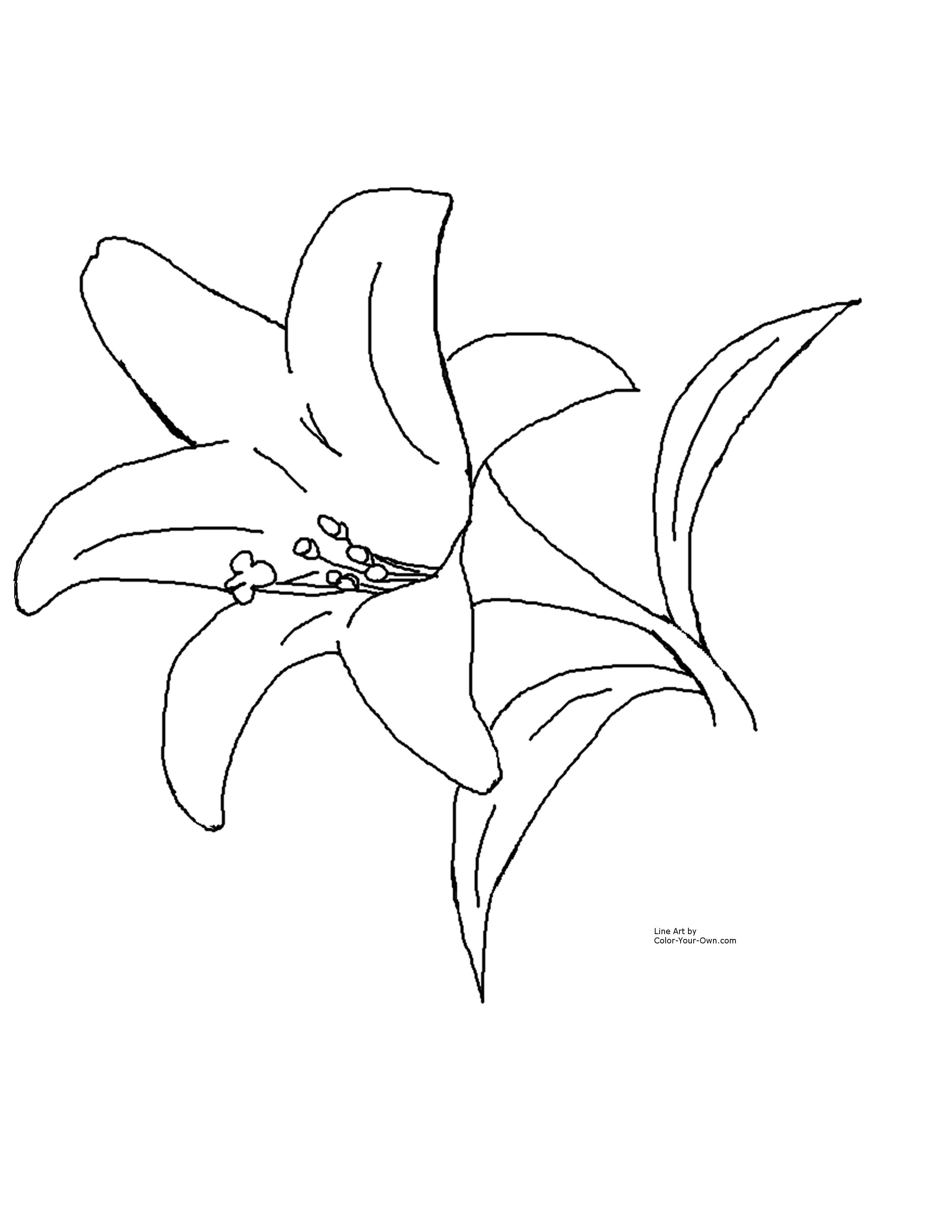 2550x3300 Tiger Lily Coloring Page Free Printable Pages Lovely