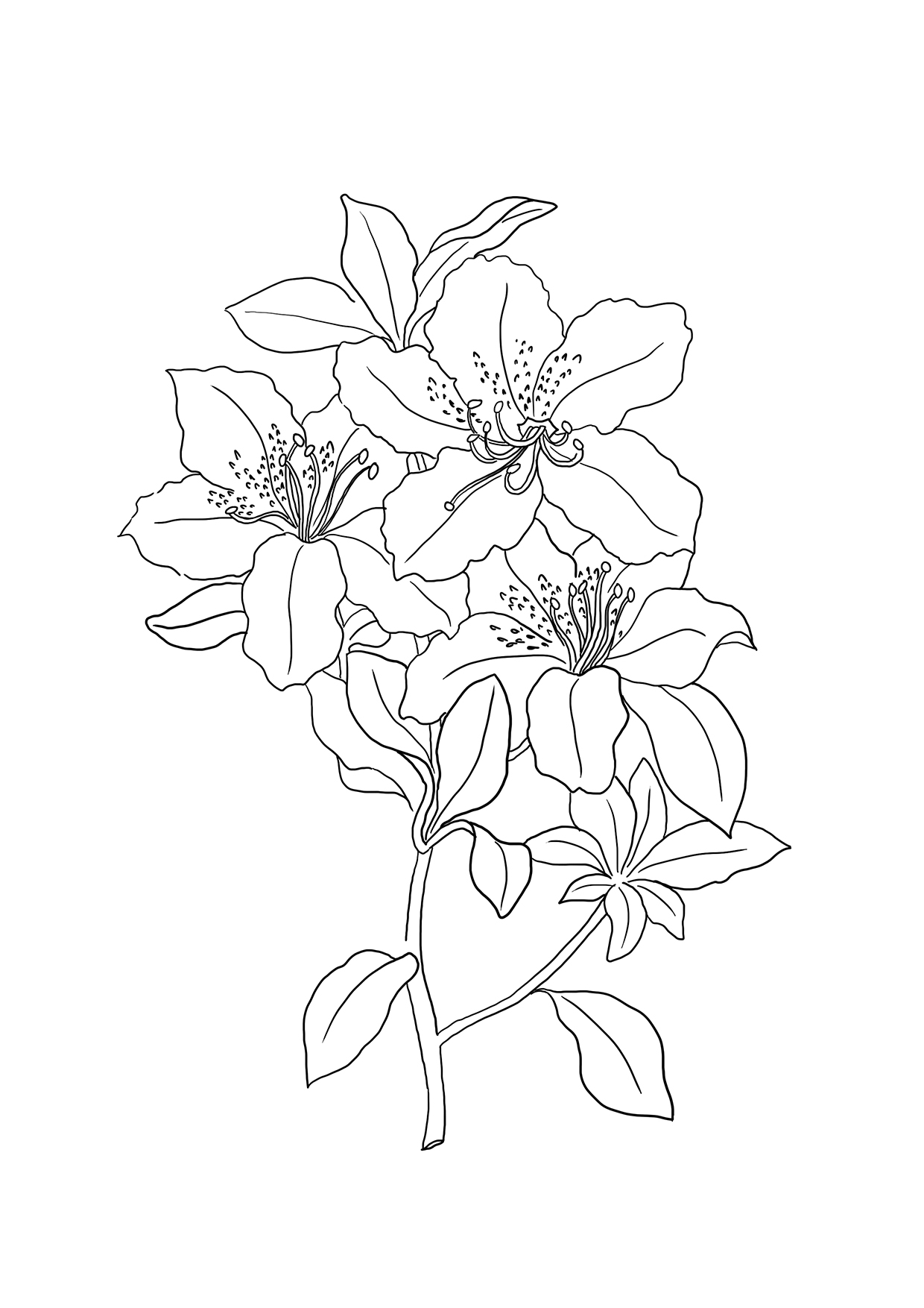 1240x1754 Tiger Lily Coloring Page Free Printable Pages Within