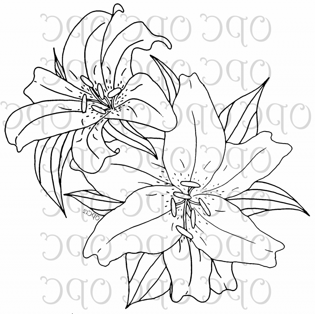 1024x1020 Tiger Lily Flower Drawing Pics Of Stargazer Coloring Page Line