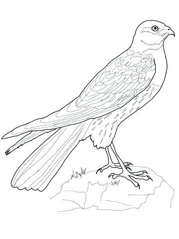 360x480 Hawk Coloring Pages Hawk Coloring Pages Harrier Hawk Coloring Page