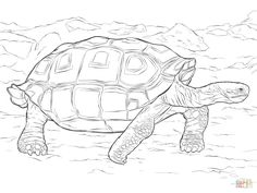 236x177 Tortoise Coloring Page Sometimes Called An African Spurred