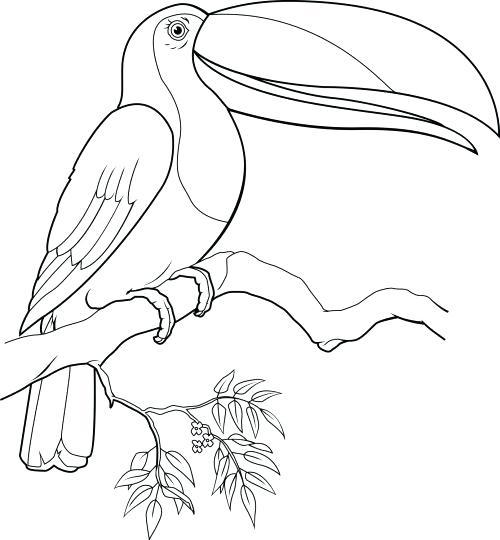 500x540 Pin Toucan Coloring Page Design Toucan Animal Coloring Toucan Bird