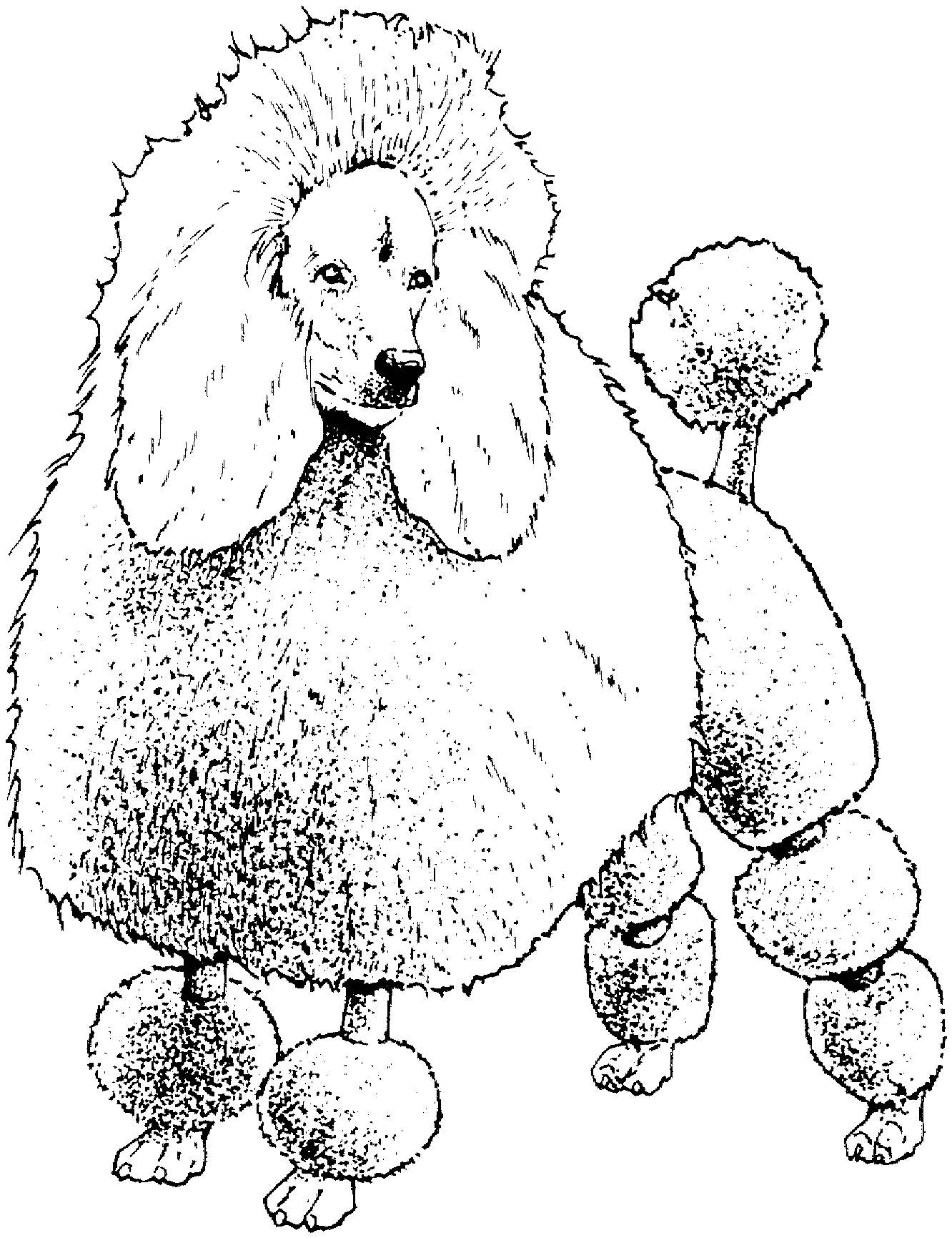 1332x1731 Poodle Colouring Pages