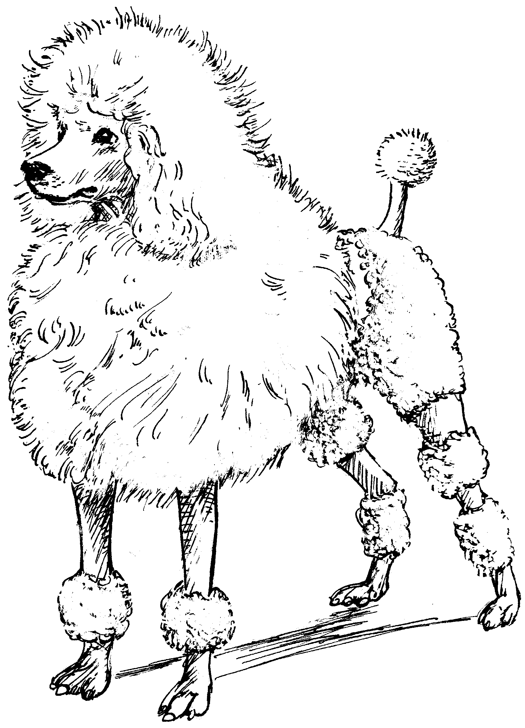 1760x2440 Toy Poodle Coloring Page Free Printable Coloring Pages