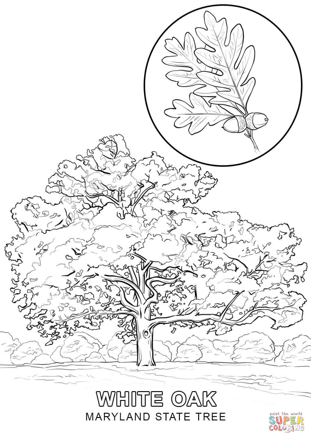 1020x1440 Maryland State Tree Coloring Page Free Printable Pages Ripping Acpra