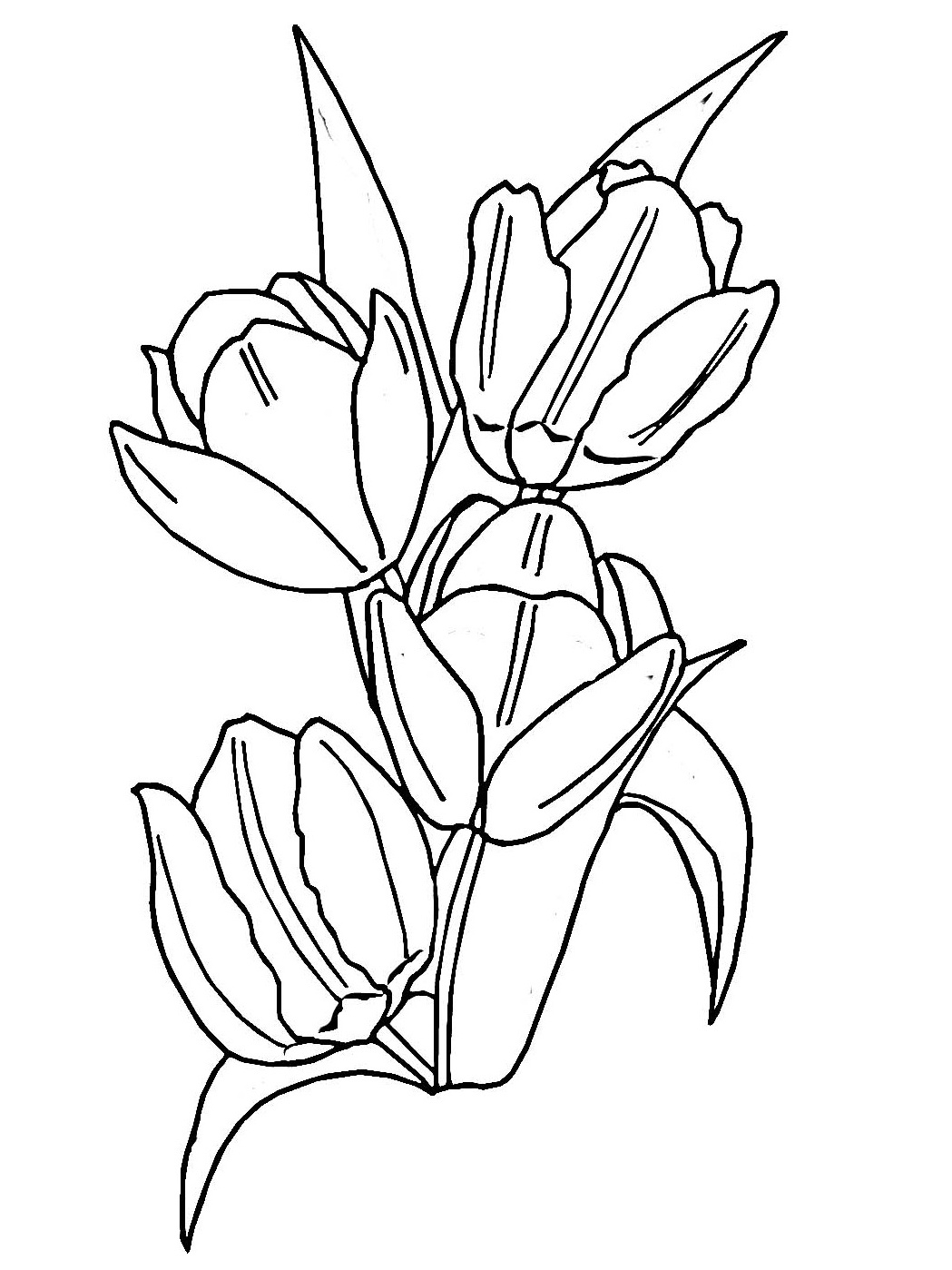 1049x1399 Tulip Coloring Pages