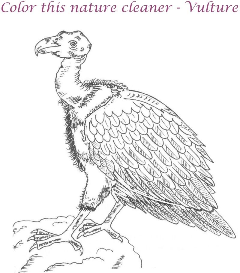 800x909 Vulture Coloring Pages Download And Print For Free