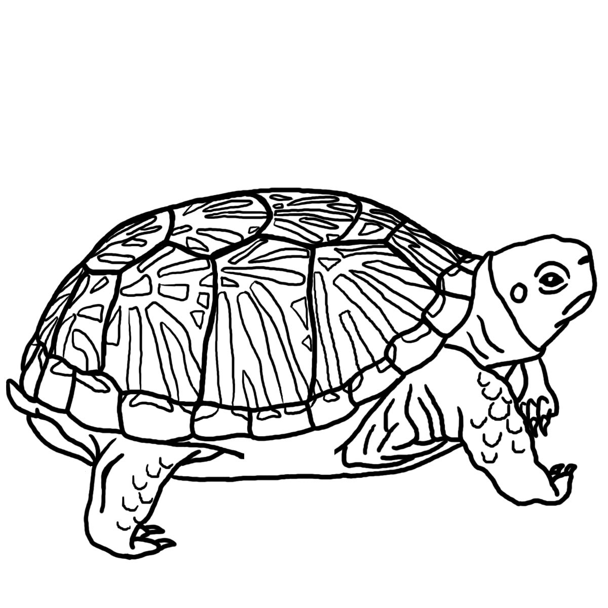 1200x1200 Free Printable Turtle Coloring Pages For Kids