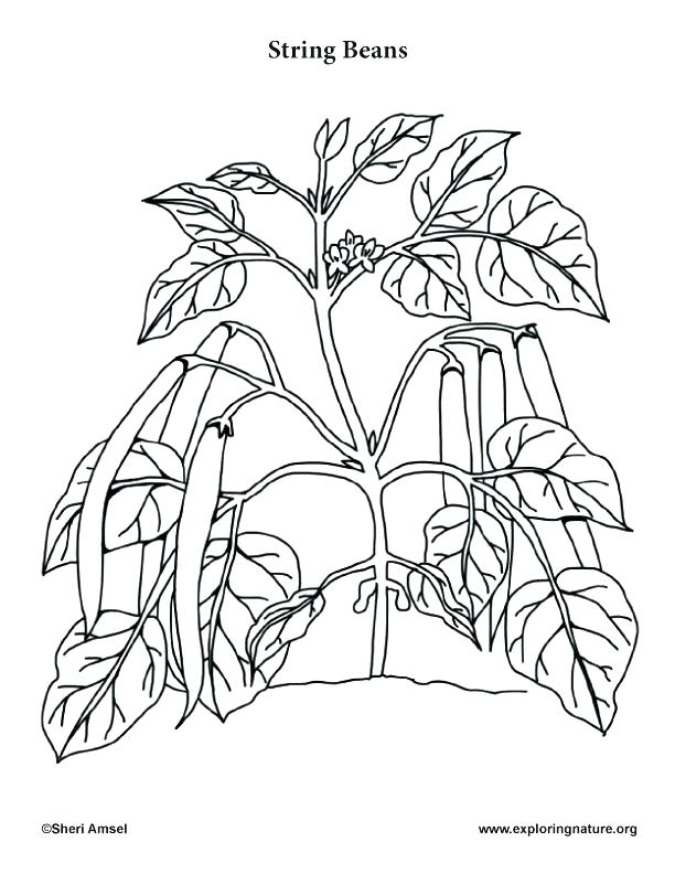 612x792 Vegetable Coloring Page Vegetable Coloring Pages Corn Coloring