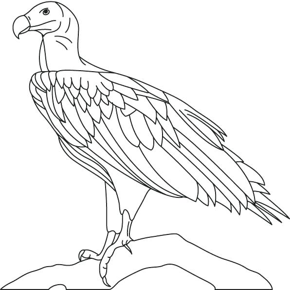 596x595 Vulture Coloring Pages Hooded Vulture Coloring Page Vulture
