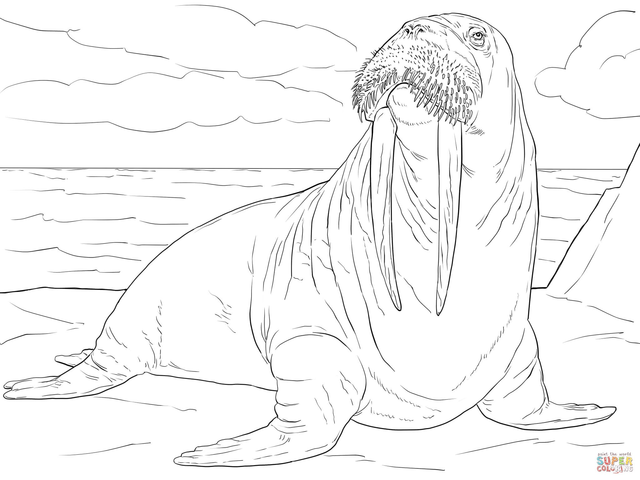 2048x1536 Opportunities Adult Male Coloring Pages Walrus