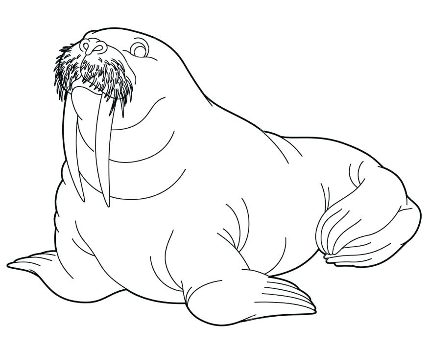 878x713 Walrus Coloring Pages Arctic Animal Walrus Coloring Page