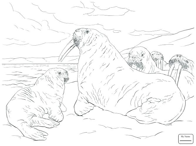 667x500 Walrus Coloring Pages Medium Size Of Walrus Coloring Page Harp