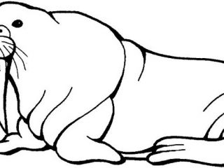 320x240 Walrus Pictures To Print Walrus Coloring Page For Kids Free
