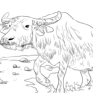 308x308 Pictures Of Water Buffaloes Coloring Pages