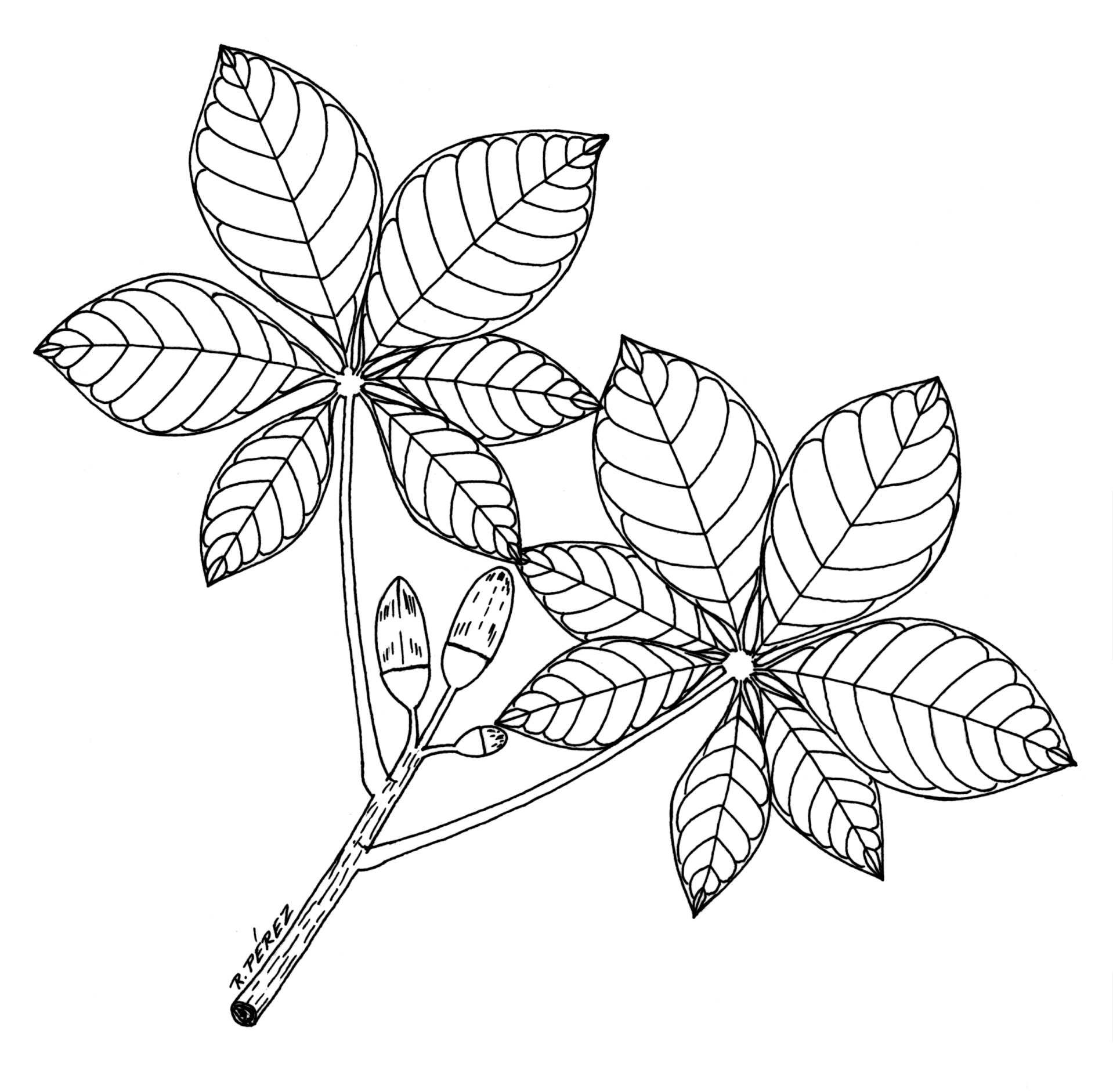 1918x1882 Drawing Of Leaves And Flowers Flower And Leaves Drawings Panama