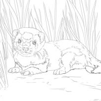 204x204 Pictures Of Weasel Mustela Coloring Pages