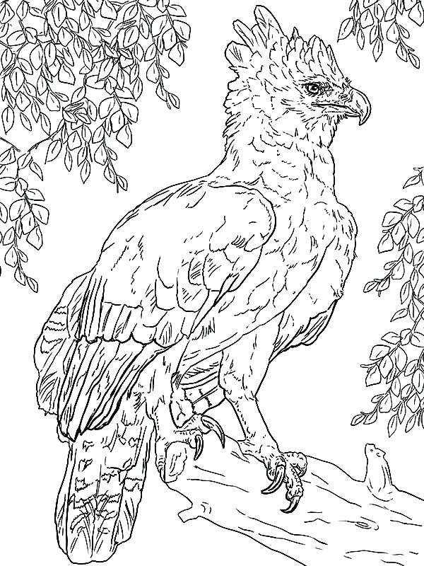 600x800 Eagle Colouring In Bald Eagle Coloring Page Golden Eagle Pictures