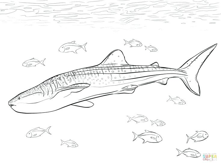 735x551 Whale Shark Coloring Pages Shark Coloring Pages Great White Shark