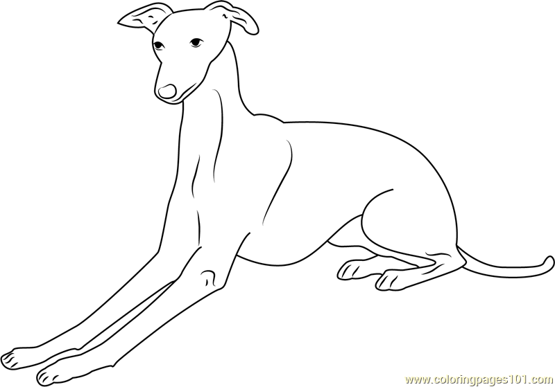 800x559 Italian Greyhound Coloring Page