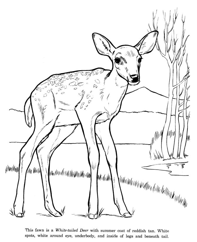 White Tailed Deer Coloring Page