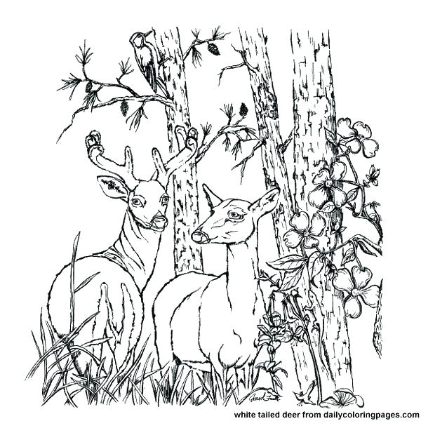 600x600 Free Deer Coloring Pages Whitetail Deer Coloring Pages Deer