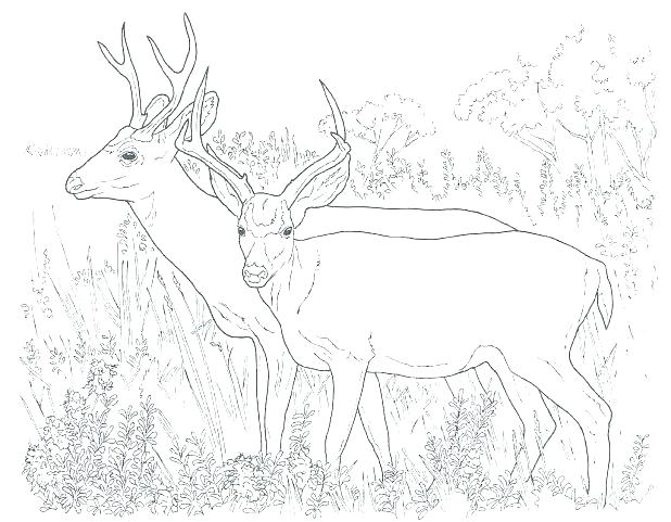 618x481 Whitetail Deer Coloring Pages Coloring Pages Of Deer Coloring