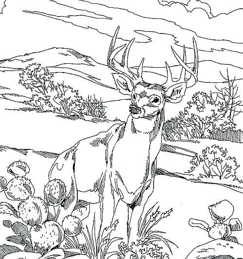 500x532 Whitetail Deer Coloring Pages Deer Coloring Page Deer Hunting