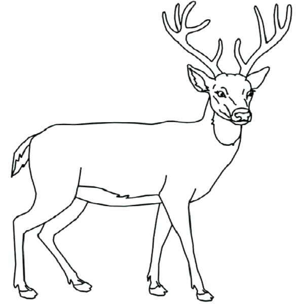 600x600 Whitetail Deer Coloring Pages Deer Coloring Picture The Incredible