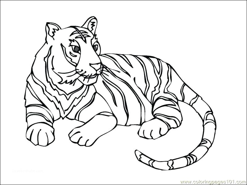 800x600 Modern White Tiger Coloring Pages Image