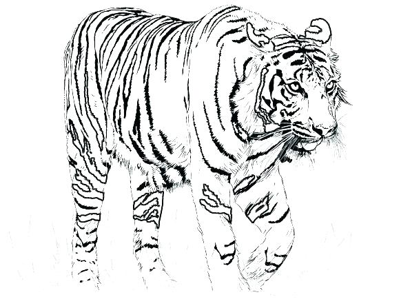 595x447 White Tiger Coloring Pages Pictures Of Tigers To Color Little