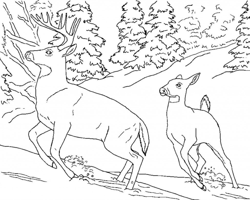 1024x819 Free Printable Deer Coloring Pages For Kids White Tailed Deer