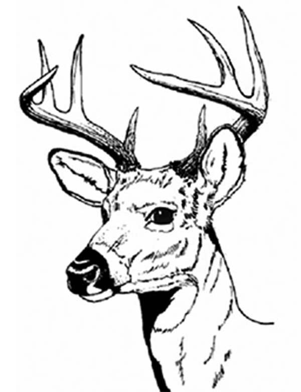600x781 Perfect Decoration Deer Coloring Pages White Tail Deer Coloring