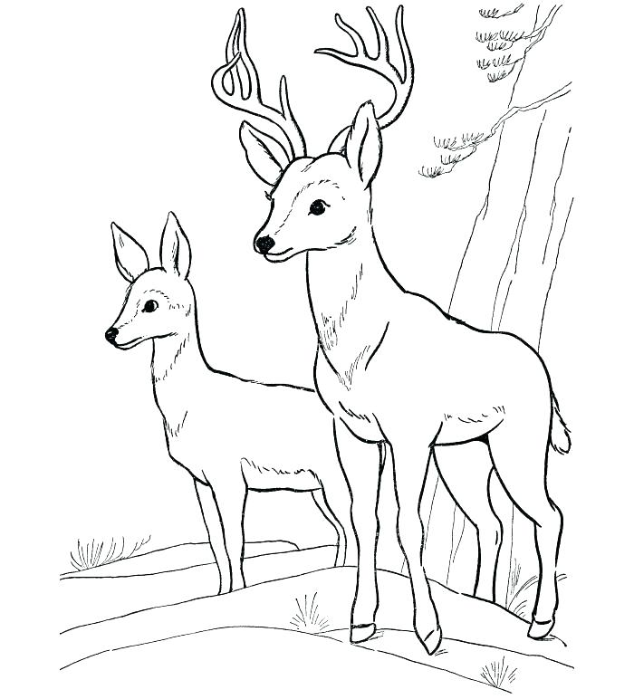 700x772 Realistic Whitetail Deer Coloring Pages Whitetail Deer Coloring