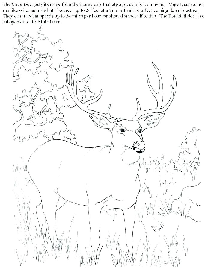 704x899 White Tailed Deer Coloring Page Whitetail Deer G Pages Hunting