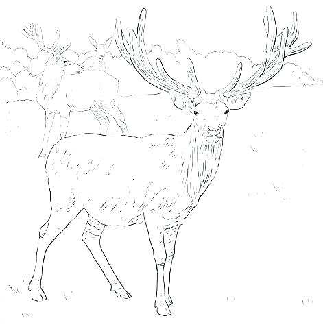 471x480 Coloring Pages Of Deer Elk Coloring Pages Coloring Pages Deer Elk